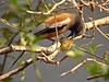 RUFOUS TREEPIE (BPramanik) Tags: bird rufoustreepie pakhi indianbirds birdsofbengal hanrichancha