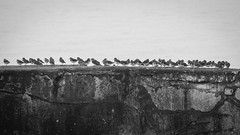 In A line (FreddieBrown) Tags: birds stone wall wales line in anglesey whitesky snoopcheri