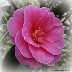 Spring Camellia (Bob.W) Tags: shrewsbury camellia abbeygarden coth5