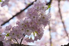 Cherry Blossoms Wed 10 Apr 2013  (171)  Washington DC (smata2) Tags: this you good national cover photograph be pick geographic titlephotosharingimg a i are height48 hrefhttpwwwflickrcomgroups83374492n00 srchttpstaticflickrcom1042978201971b62ce7b44ojpg width129 altnominateda hrefhttpwwwflickrcomgroups83374492n00national enougha