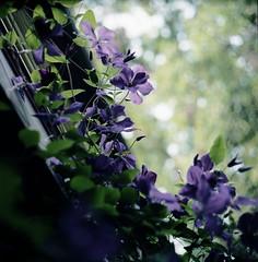 Clematis 1 (Ian van Coller) Tags: montana bozeman clematis norita
