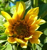 Yellow Sunflower, Bee-utiful!! (lucidcats) Tags: light sunlight plant flower green leaves yellow vancouver washington leaf state blossom bloom vancouverwa thebestyellow