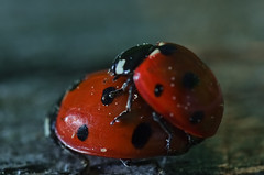 coccinelles du jour. (safran83) Tags: red macro insect rouge spring ladybird ladybug coccinelle