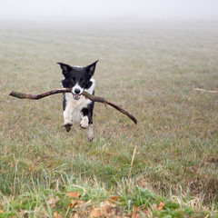 Flying Dog (Bas Bloemsaat) Tags: dog action sheepdog border bordercollie