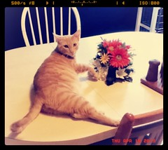 caught ( iStone ) Tags: pet cute kitchen cat table feline adorable kitty photogenic streamzoo
