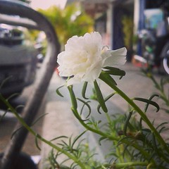 #andrographer #photography #photodroid #white #flower #beautiful #alone cc: @debbyuta (riezVE) Tags: square squareformat iphoneography instagramapp uploaded:by=instagram