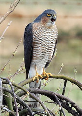 SPARROWHAWK  WE1 105 (ivorrichardk) Tags: sparrowhawkwe1