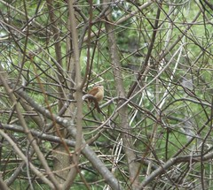 Carolina Wren (tapaculo99) Tags: birds newhampshire aves wren carolinawren thryothorusludovicianus minkbrook