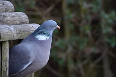 Wood Pigeon. (Yvette-) Tags: wood birds pigeon nikond5100