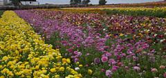 Ranunculus Fields (DonCrain) Tags: california flowers plants ranunculus horticulture persianbuttercup carlsbadca ranunculusasiaticus theflowerfields