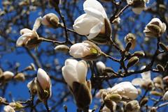 Magnolie (♥ ♥ ♥ flickrsprotte♥ ♥ ♥) Tags: blumen kiel frühling blüten magnolie botanischergarten ilovenatur flickrsprotte