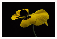 Lightbox #3 (Outlaw Pete 65) Tags: flowers black macro nature yellow closeup garden nikon italia colours natura giallo fiori viola colori brescia lombardia nero lightbox giardino sigma105mm pancy d300s nikond300s mygearandme rememberthatmomentlevel1 rememberthatmomentlevel2 rememberthatmomentlevel3 flowerthequietbeauty