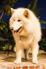 Fuzzy White at Night (Images by April) Tags: dog canon nightshot samoyed alaskanmalamute whitedog 550d t2i tamronf28