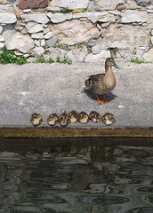 "Mom duck (wallace39 "" mud and glory "") Tags: duck chicks papera pulcini rememberthatmomentlevel1"