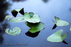 Love  Knows No Bounds (Julia Carol Photography) Tags: lake love water nc spring pond lily north greensboro carolina brandt protection eternal anthropomorphism everlasting anthropomorphous nuphar