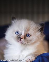 looking up shot (froomey) Tags: cats pets cute animal fur mammal spring blueeyes kittens felines domesticanimals ragdolls youngsters americanragdoll householdanimals olympusmzuiko45mm olympusomdem5