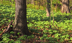 Matson's Woods (2) (Nicholas_T) Tags: trees plants nature forest spring pennsylvania creativecommons vegetation deciduous lehighvalley undergrowth mayapples oldgrowthforest understory northamptoncounty louisewmoorepark louisewmoorecountypark relictforest temperatedeciduousforest matsonswoods