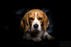 The Dogfather (Sigurdur William Photography) Tags: portrait dog pet white black cute beagle look leather animal closeup mammal one looking view side details watch profile tan hound adorable canine sofa single looks feed breed beg domesticated lovable canidae pjakkur ruby5 vigilantphotographersunite vpu2 vpu3 vpu4 vpu5 vpu6