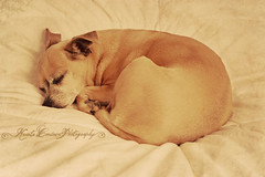 (Krista Cordova Photography) Tags: sleeping dog chihuahua cute rose grey sleep gray smalldog sleepingdog whiteblanket fullbred graychihuahua fullbredchihuahua greychihuahua