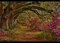 Oak trees at Magnolia Gardens (jeannie'spix) Tags: charleston