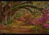 Oak trees at Magnolia Gardens (jeannie'spix) Tags: charleston