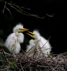 siblings (William Miller 21) Tags: nature birds nest florida wildlife chicks juvenile egret staugustine greategret alligatorfarm