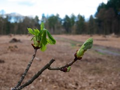 Kastanje springt open (ednl) Tags: netherlands clouds outdoors spring walk nederland wolken sunny chestnut buds bud lente horsechestnut buiten clearing wandeling baarn knoppen knop aesculus kastanje zonnig provincieutrecht utrechtprovince 2013 paardenkastanje openplek