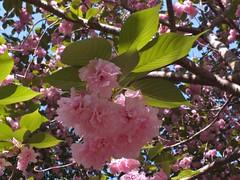 Sunlight on cherry blossoms (Castilleja19) Tags: pink cherry virginia spring cherryblossoms kwanzancherry