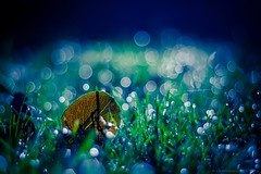 Early Morning (icemanphotos) Tags: blue water colors grass garden leaf amazing bokeh dew waterdrops