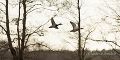 Ducks in flight (A.Sundell) Tags: sky lake bird nature rain weather birds animal prime duck long pentax sweden natur ducks swedish sharp 300mm da raindrops birdsinflight tele sverige panning vatten f4 tracking anka afc seabird seabirds bif fglar himmer sj djur fgel vstmanland grsand nder surahammar naturfoto weathersealing framns sjfgel sjfglar naturphoto smcpda300mmf40edifsdm da300mm pentaxda300mmf4 pentaxda3004 pentaxk5