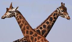 Giraffe Crossing (Wilamoyo) Tags: nature animal funny crossing cross wildlife spots heads giraffe amusing necks