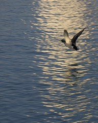 But A Moment (jah32) Tags: ontario canada reflection nature water birds animals duck movement nikon action flight greatlakes stcatharines lakeontario portdalhousie