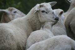 standout sheep