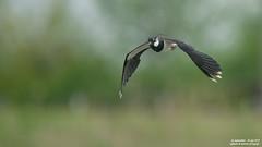 pavoncella (taronik) Tags: natura uccelli animali cacciafotografica pavoncella blinkagain allofnatureswildlifelevel1 me2youphotographylevel1