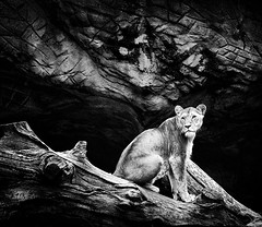 One last look... (Explored) (chmeermann) Tags: bw zoo blackwhite eyes nikon rocks hamburg lion bigcat sw augen nikkor predator tierpark schwarzweiss lioness hagenbeck felsen raubkatze colorkeying selectivecoloring 18135 raubtier d80 lowe