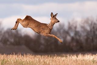 Jumping Roe Deer