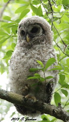 IMG_2060B (Stuart Jackson Photos) Tags: bird florida chick owl barred nationalgeographic audubon varia strixvaria strigidae hootowl varius stripedowl woodowl eighthooter rainowl barredowlbaby strizo