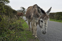 New Forest donkey (dawn.v) Tags: road uk england cold animal sad donkey hampshire lane april chilly dull newforest newforestnationalpark