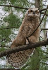 Fledged 12 (Jan Crites) Tags: park baby nature illinois nikon geneva zoom sigma raptor owl fledgling branching owlet d600 fledged fabyanpark 150500mm greathornedowlet