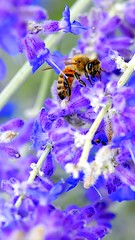 Presented (Danny Perez Photography) Tags: california park ca flowers abejas plants plant flower macro green nature gardens garden insect losangeles wings nikon bees insects bee abelha inseto micro ape nec