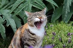 The Big Yawn (Vecchia Casa Umbria) Tags: italy primavera cat garden spring italia lavender april aprile artichoke umbria giardino yawning catyawning gatta carciofo vecchiacasa springinthegarden catwakingupfromanap