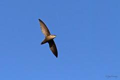 Swift! (NYC Wild) Tags: nyc red chimney bird brooklyn swift winged blackbird 11215 b13