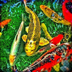 fiskar #karpar #fjrilshuset #akvarium #vxthus #fish... (Archos72) Tags: fish colors tattoo aquarium v greenhouse fj fiskar fisk solna haga koifish akvarium hagaparken karp karpar hdrcapture uploaded:by=flickstagram instagram:photo=425729224933117654271432306