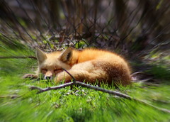 Sleepy Fox (JayLev) Tags: sunshine spring fox
