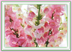 Spring Pastels In May (bigbrowneyez) Tags: pink flowers light green nature beautiful spring dof bright bokeh blossoms natura frame pastels stems bouquet colourful fiori delicate joyful colori belli contrasts snapdragons creamy delightful bellissimi delicati boccaleone flickrdelight springpastelsinmay