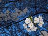 IMG_9368 (416Pictures) Tags: flowers toronto cherry evening highpark blossom flash sakura 2013