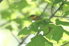 Cape May Warbler - Setophaga tigrina - Hamilton County, Ohio, USA - April 30, 2013 (mango verde) Tags: ohio usa bird yard capemay migration warbler migrant hamiltoncounty tigrina parulidae setophaga newworldwarblers capemaywarblersetophagatigrina