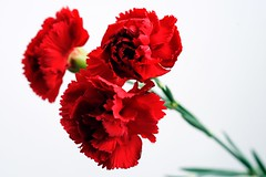 Carnation  (digo&) Tags: flower minolta sony carnation   af50mmf28macro 900