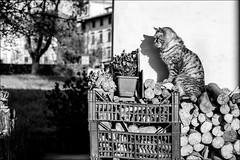le chat (andaradagio) Tags: bw italy cat canon chat italia canonef50mmf18 carnia gatto bianconero flickraward enemonzo inostriamicianimali andaradagio colzadienemonzo nadiadagaro