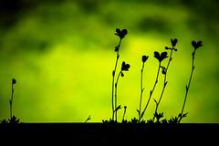 outsider. (angsthase.) Tags: flower green silhouette germany deutschland bokeh nrw grün dailylife ruhrgebiet dortmund ruhrpott mft 2013 micro43 olympuspenepl1 olympusm40150mmf4056